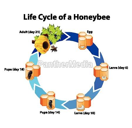 diagram showing life cycle of honeybee