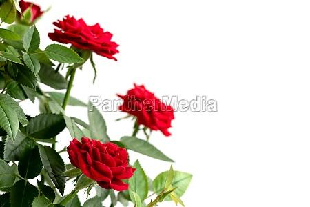 beautiful fresh red roses bush isolated