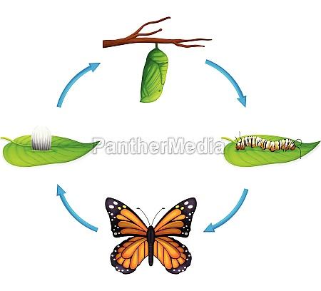 life cycle danaus plexippus