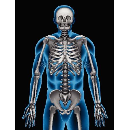 a mans skeleton system