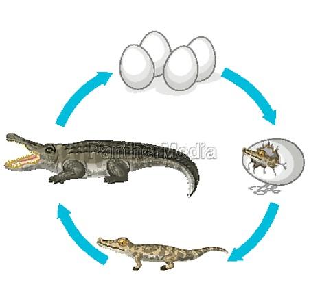 life cycle of crocodile on white