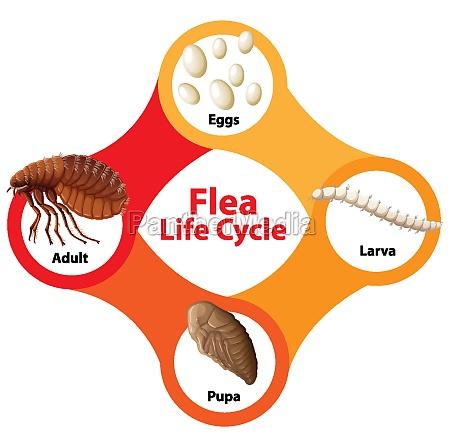 flea, life, cycle, diagram - 30203887