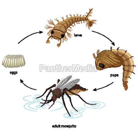 diagram showing mosquito life cycle on