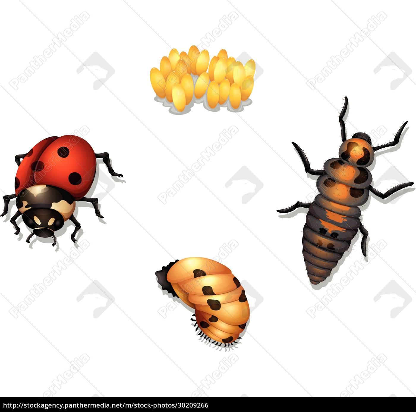 ladybug, life, cycle - 30209266