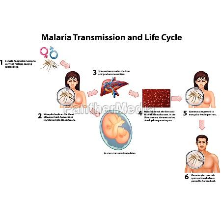 malaria transmission and life cycle