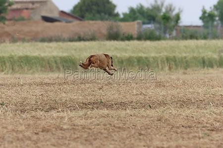 spanish greyhound dog race hare hunting
