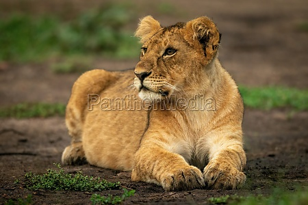 lion cub lies on dirt looking