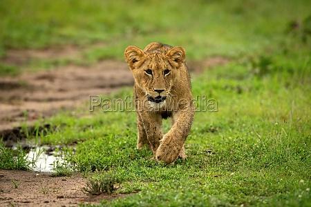 lion cub crosses short grass lifting