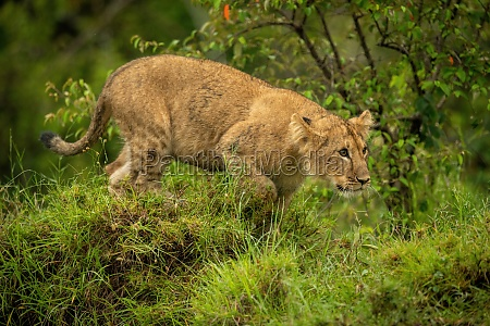 lion cub crouches on mound staring