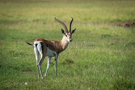 grant gazelle stands turning head to