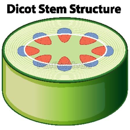 diagram showing dicot stem structure