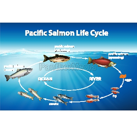 diagram showing pacific salmon life cycle