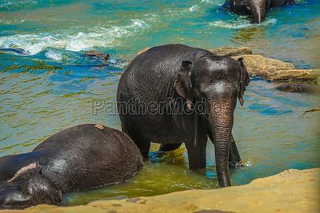elephant orphanage sri lanka pinnawara