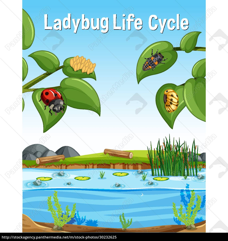 ladybug, life, cycle, font, in, swamp - 30232625