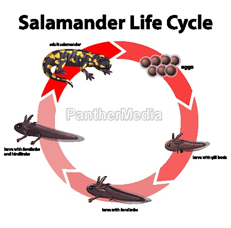 diagram showing life cycle of salamander