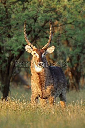 waterbuck in late afternoon light