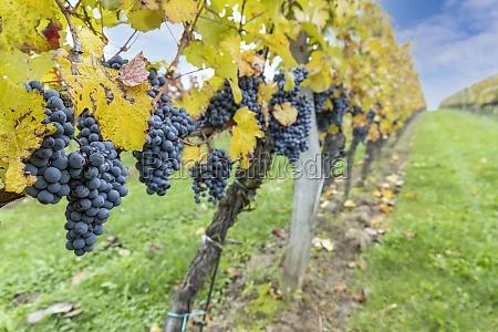 blue grapes cabernet moravia in autumn