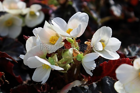 background of delicate potted white begonia