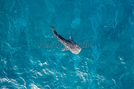 aerial, view, of, a, baby, shark - 30242134
