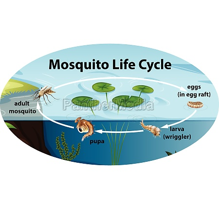 life, cycle, of, mousquito - 30244820