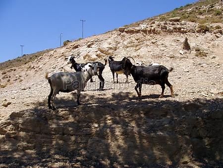 goat or domestic goat farm animal