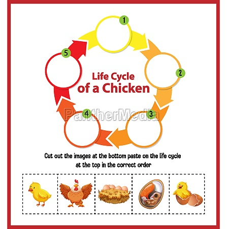 diagram showing life cycle of chicken