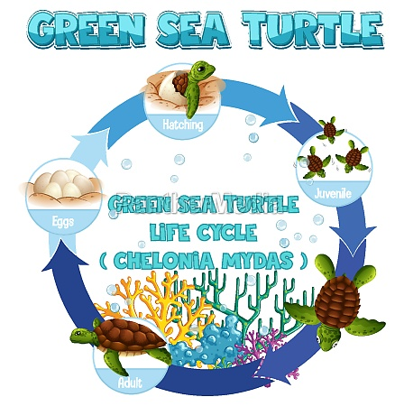 diagram, showing, life, cycle, of, turtle - 30252990