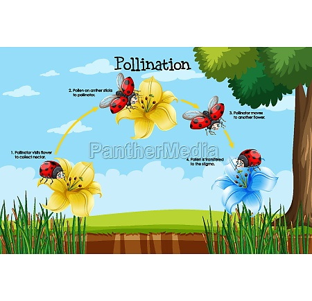 diagram showing pollination with flower and