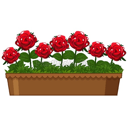 beautiful red roses in clay pot