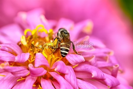 bees on zinnia elegans