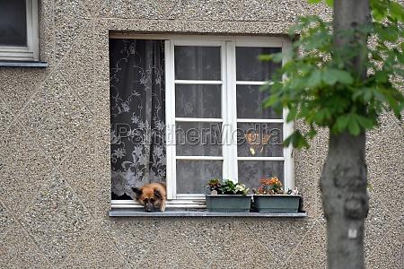 ein hund schaut aus einem wohnungsfenster