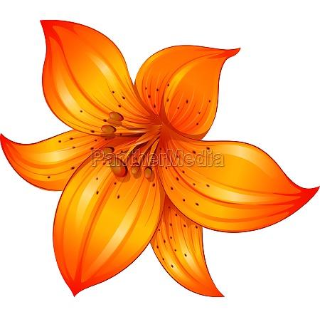 an orange lily flower