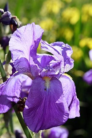 deutsche schwertlilie iris germanica auch