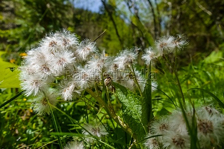 white fluffy blossoms in the sun