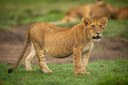 lion cub stands on short grass
