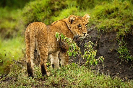 lion cub stands by bush staring