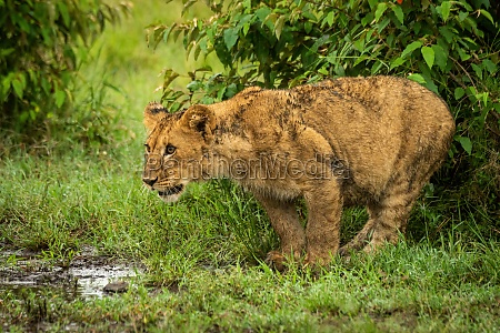 lion cub stands by bushes staring