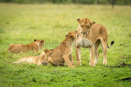 lion cub snarls at mother in