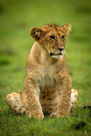 lion cub sits staring in wet