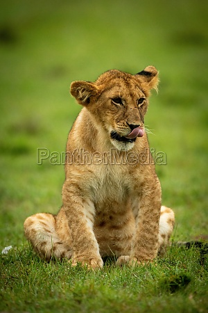 lion cub sits in grass licking