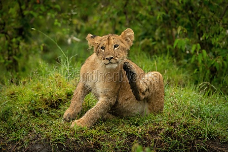 lion cub sits in grass scratching