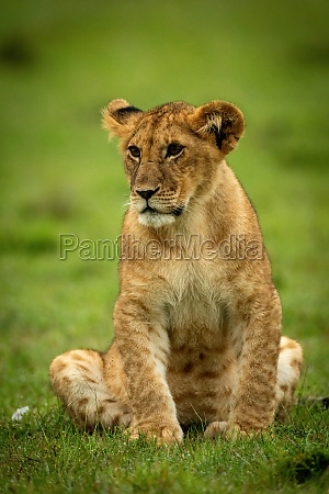 lion cub sits in grass staring