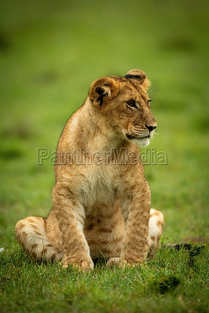 lion cub sits in wet grass