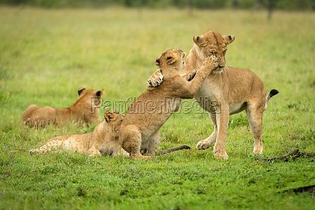 lion cub paws mother near two