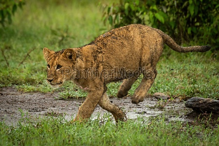 lion cub runs left on muddy