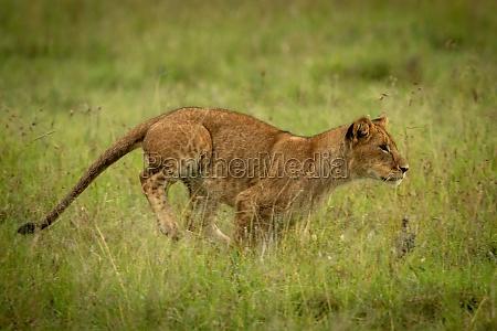 lion cub runs through grass staring