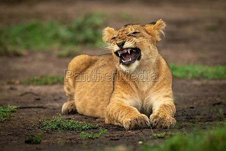 lion cub lies yawning screwing up