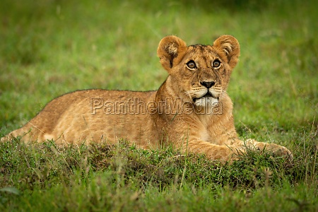 lion cub lying in grass looking