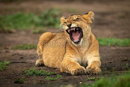 lion cub lying yawning screwing up