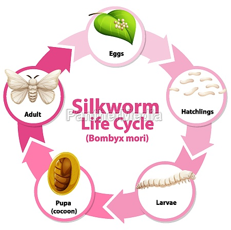 diagram showing life cycle of silkworm